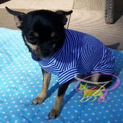 Artikel Nr-H70T95B-4__xxs-welpenpullover-welpenpulli-welpen-pullover-(-chiwawa,-yorkie,-usw.)-in-der-farbe-blau-mit-weissen-streifen-100%-baumwolle.